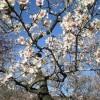La Quinta de los Molinos y sus almendros en flor
