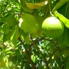 Belleza Natural: Aceite Esencial De Pomelo